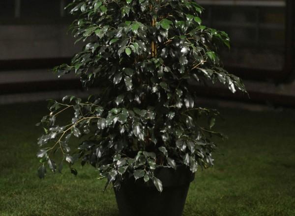 Ficus_Amstel_King