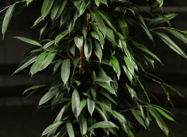 Ficus_Benjamin_Danielle