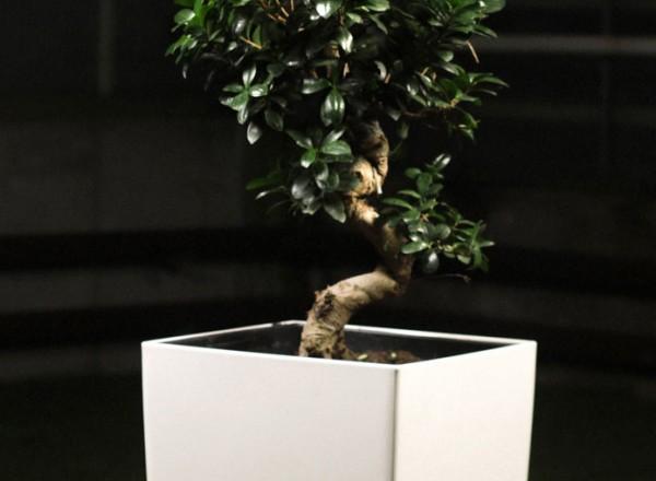 Ficus_ginseng